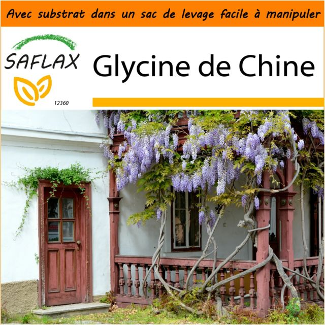 saflax jardin dans le sac glycine de chine 4 graines avec substrat de culture dans un. Black Bedroom Furniture Sets. Home Design Ideas