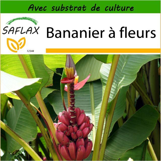Saflax Bananier A Fleurs 8 Graines Avec Substrat De Culture