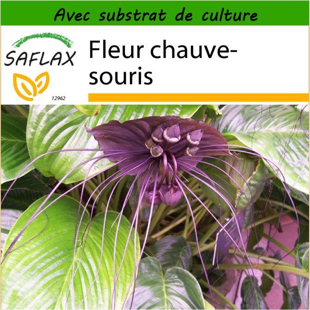 saflax fleur chauve souris 10 graines avec substrat de culture aseptique tacca. Black Bedroom Furniture Sets. Home Design Ideas