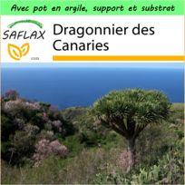 Saflax - Jardin dans la boîte - Dragonnier des Canaries - 5 graines - Avec pot en argile, support, substrat de culture et engrais - Dracaena Draco