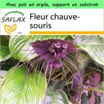 Saflax - Jardin dans la boîte - Fleur chauve-souris - 10 graines - Avec pot en argile, support, substrat de culture et engrais - Tacca chantrieri