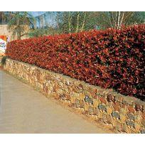 Willemse France - 30 Photinias 'Red Robin' - 30 pots de 7 cmHauteur livrée 20-30 cm