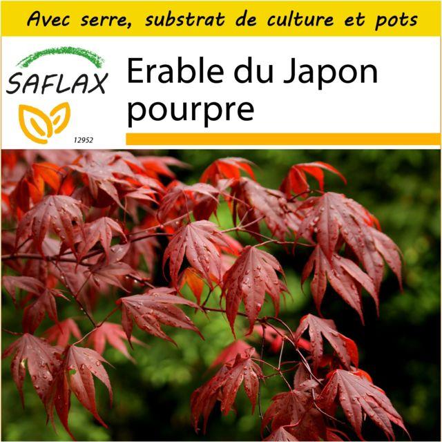 Saflax Kit De Culture Erable Du Japon Pourpre 20 Graines