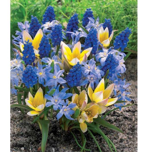 fleur bulbe printemps collection coucher de soleil narcisses pluriflores falconet tulipes. Black Bedroom Furniture Sets. Home Design Ideas