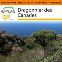 Saflax - Jardin dans le sac - Dragonnier des Canaries - 5 graines - Avec substrat de culture dans un sac de levage facile à manipuler Dracaena Draco
