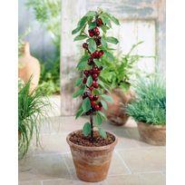 Willemse France - Mini-cerisier 'Sylvia' - Le pot de 9 cm Hauteur livrée 25-30 cm