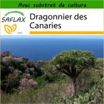 Saflax - Dragonnier des Canaries - 5 graines - Avec substrat de culture aseptique - Dracaena Draco