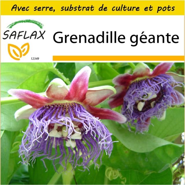 Saflax Kit de culture - Grenadille géante - 12 graines - Avec mini-serre, substrat de culture et 2 pots - Passiflora quadrangul