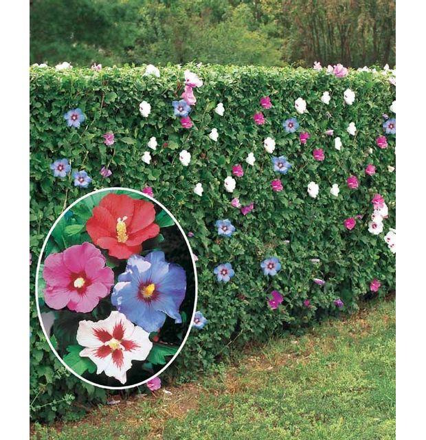 Willemse France - 10 Hibiscus de jardin - Le paquet de 10 Hl ...
