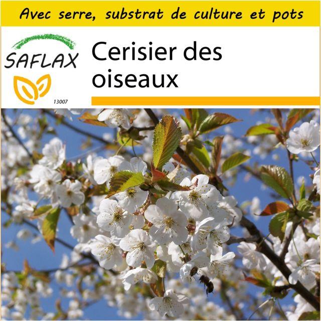 Saflax Kit de culture - Cerisier des oiseaux - 10 graines - Avec mini-serre, substrat de culture et 2 pots - Prunus avium