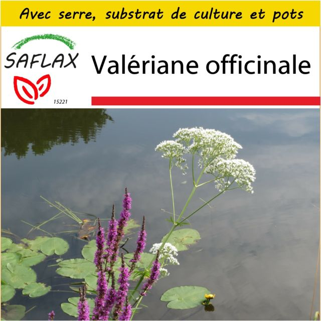 Saflax Kit de culture - Valériane officinale - 200 graines - Avec mini-serre, substrat de culture et 2 pots - Valeriana officin