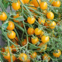FERME DE SAINTE MARTHE - Tomate cocktail clémentine AB
