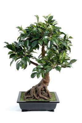 https://www.media-rdc.com/medias/995eaeb07a7b3d2281c9b30b293df595/p_580x580/bonsai-artificiel-arbre-miniature-ficus-en-coupe-plante-d-interieur-h-58-cm.jpg