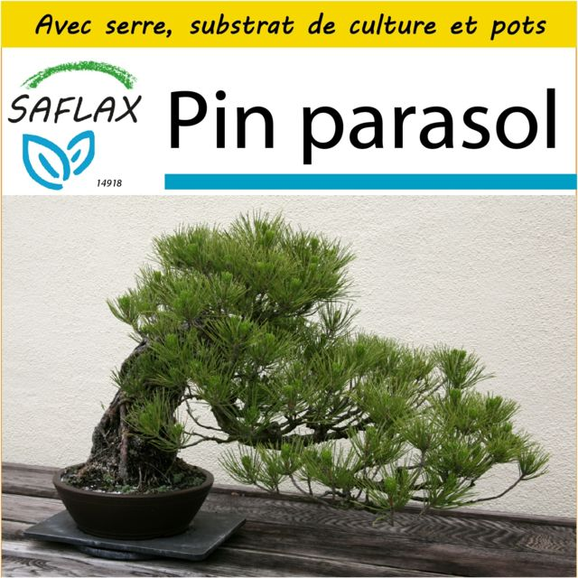 Saflax Kit de culture - Pin parasol - 6 graines - Avec mini-serre, substrat de culture et 2 pots - Pinus pinea