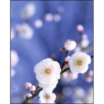 Nouvelles Images - Cerisier en fleur, Japon / Cherryblossom tree, Japan / Blühender Kirschbaum, Japan , Pby