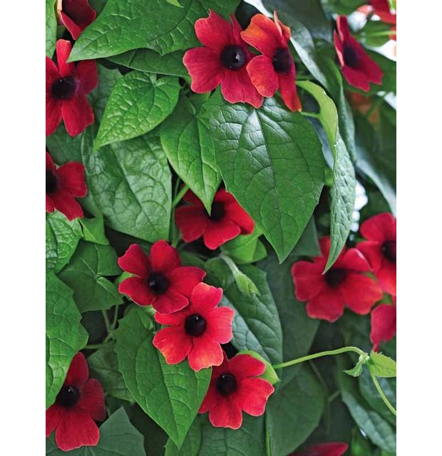 Willemse france suzanne aux yeux noirs fleurs rouges for Willemse fleurs