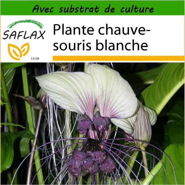 Saflax Plante Chauve Souris Blanche 10 Graines Avec Substrat