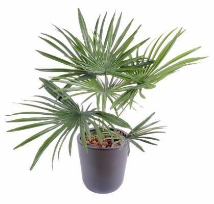 Ble en epis x 8 artificiel isolepsis en piquet h 52 cm for Achat palmier artificiel