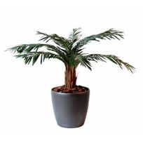 palmier chanvre 60 cm