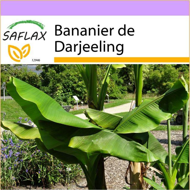 Saflax Bananier De Darjeeling 5 Graines Musa Sikkimensis Pas