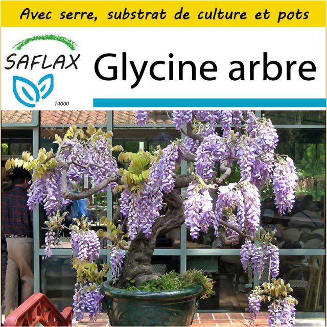 Saflax Kit de culture - Glycine arbre - 15 graines - Avec mini-serre, substrat de culture et 2 pots - Bolusanthus speciosus