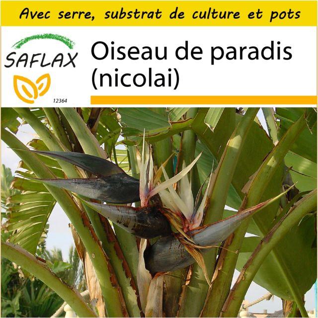 Saflax Kit de culture - Oiseau de paradis nicolai 5 graines - Avec mini-serre, substrat de culture et 2 pots - Strelitzia nicol