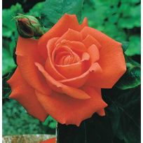 Willemse France - Rosier buisson orange - Le rosier,racines nues,2 branches et
