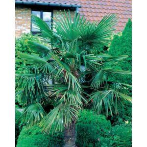 Willemse france palmier de jardin pas cher achat for Willemse jardin