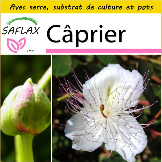 Saflax Kit de culture - Câprier - 25 graines - Avec mini-serre, substrat de culture et 2 pots - Capparis spinosa