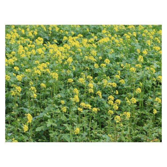 Vilmorin Moutarde blanche Engrais vert 500gr - 400 m2