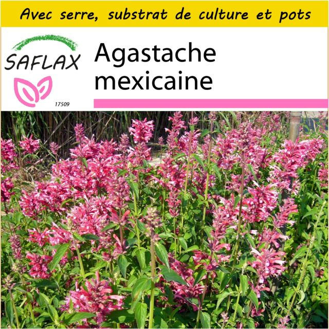Saflax Kit de culture - Agastache mexicaine - 50 graines - Avec mini-serre, substrat de culture et 2 pots - Agastache mexicana