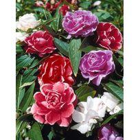 Willemse France - Balsamine 'à fleurs de camélia' en mélange - Le sachet de 1,5 g