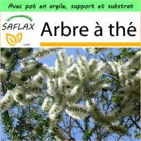 Saflax - Jardin dans la boîte - Arbre à thé - 400 graines - Avec pot en argile, support, substrat de culture et engrais - Melaleuca alternifolia