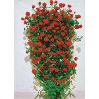 Willemse France - Rosier grimpant 'Santana' ® - Le rosier, racines nues, 3 branches