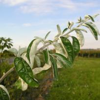 Pepinieres Naudet - Olivier de Bohême Eleagnus angustifolia
