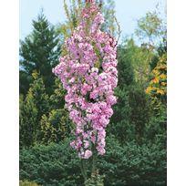 Willemse France - Cerisier à fleurs 'Amanogawa' EXTRA Le pot de 3 Lhauteur livrée 125-150 cm