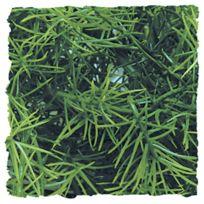 Zoomed - Plante Cashuarina pour Terrarium