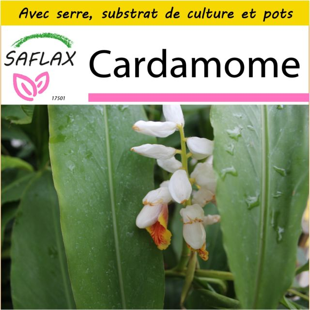 Saflax - Kit de culture - Cardamome - 20 graines - Avec mini-serre, substrat de culture et 2 pots - Elettaria cardamomum