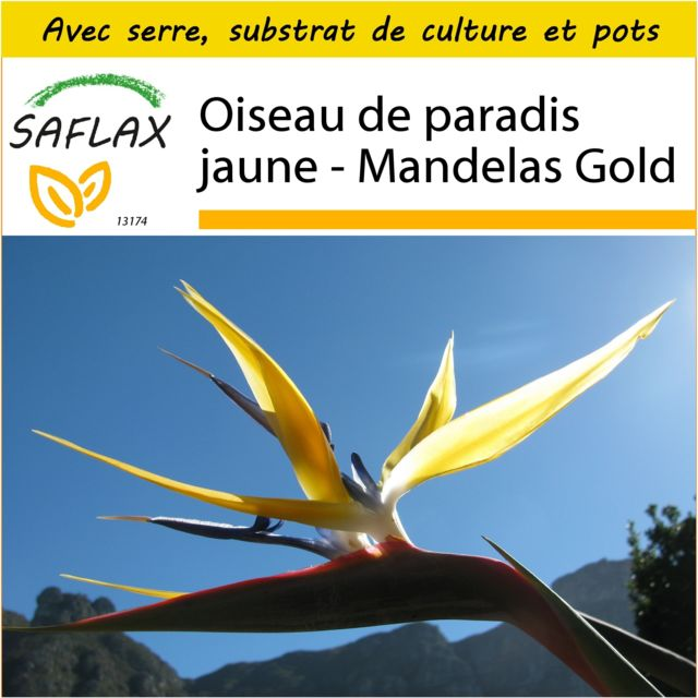 Saflax Kit de culture - Oiseau de paradis jaune - Mandelas Gold - 4 graines - Avec mini-serre, substrat de culture et 2 pots -